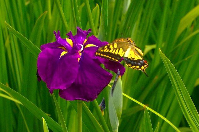 キアゲハと花菖蒲 でも蜜はあるのアゲハさん?