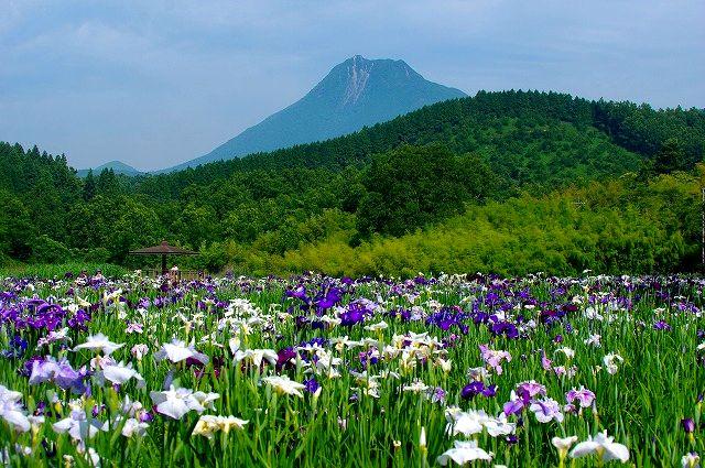 由布岳と神楽女湖の花菖蒲