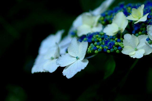 紫陽花マクロ 2