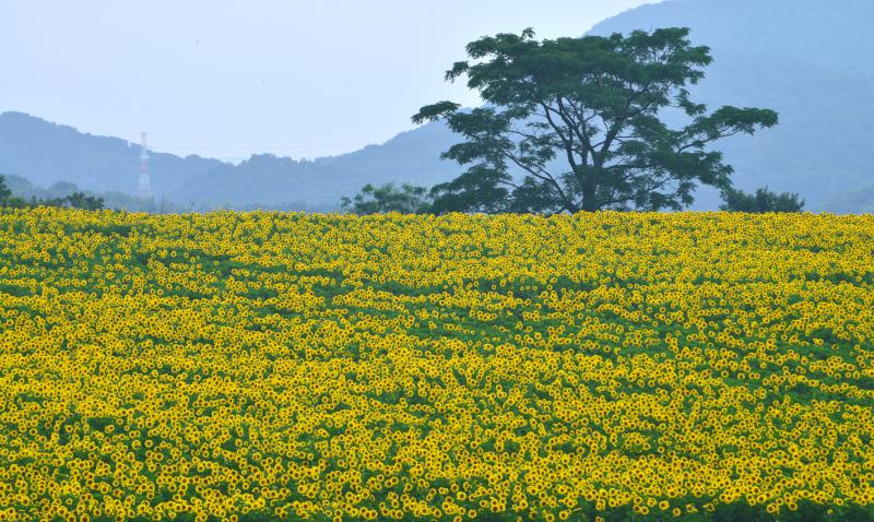 「ひまわりの丘」2