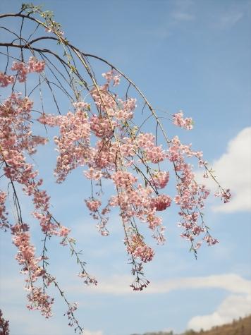 シダレザクラ【花見山公園】