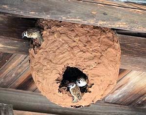 雀が乗っ取ったスズメバチの巣