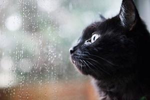 雨を見つめる黒猫