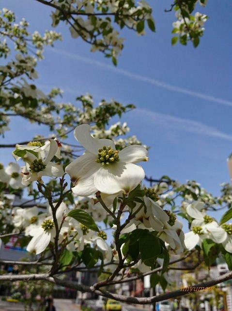 白い花水木170425