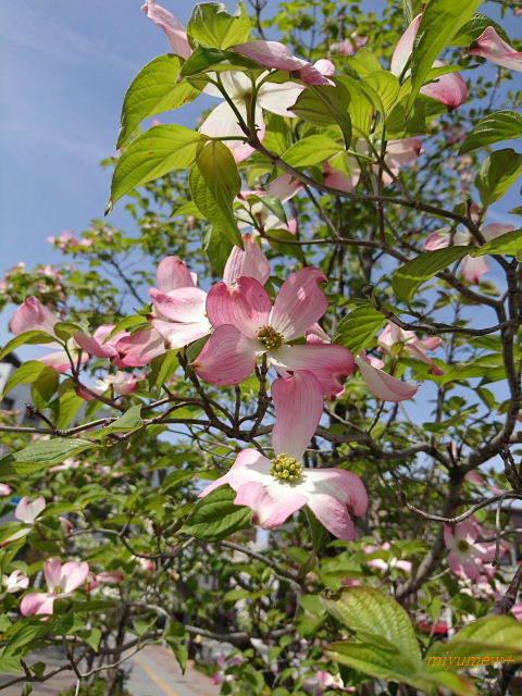 ピンク花水木170425