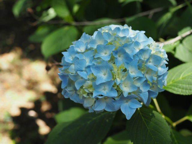 濃いblue紫陽花170603
