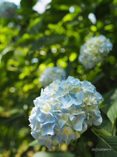 淡いblue紫陽花170603