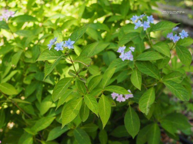 七段花blue170603