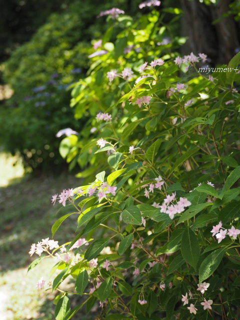 七段花pink170603