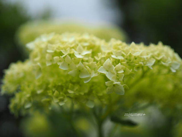 ふんわり紫陽花170603