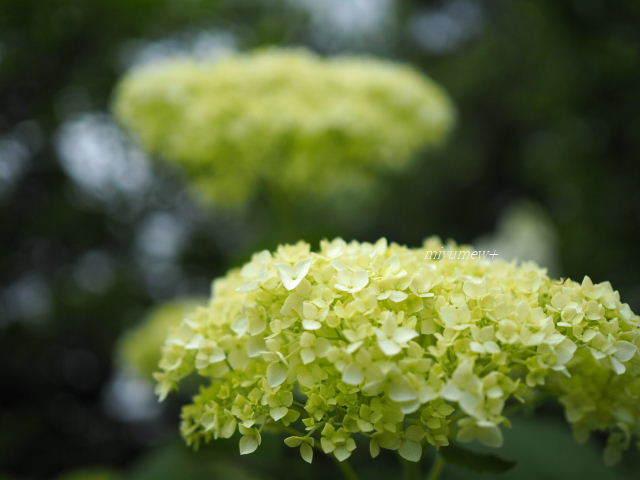 ふわふわ紫陽花170603