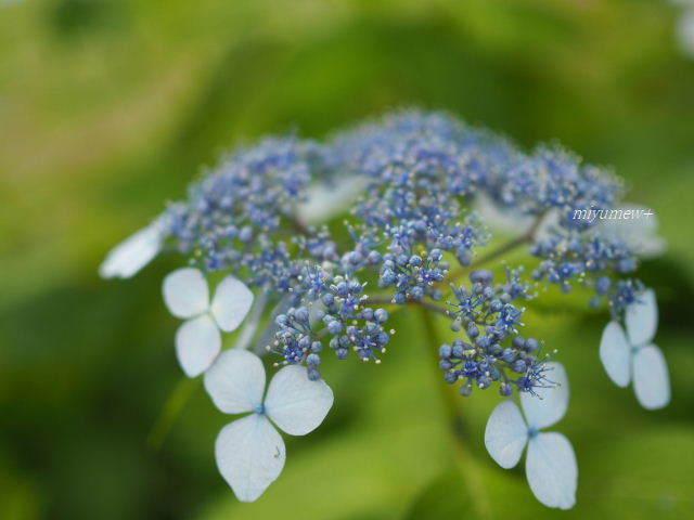 blueガクアジサイ170603