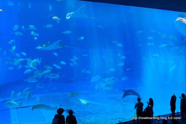 マンタ 沖縄美ら海水族館