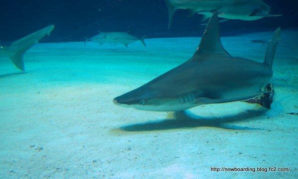 危険ザメの海