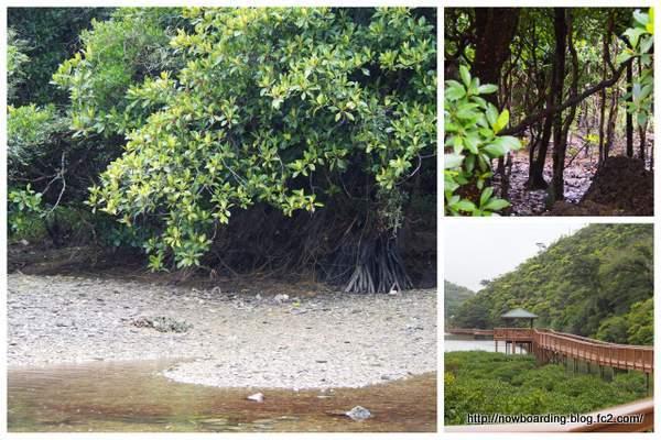 大浦のマングローブ林