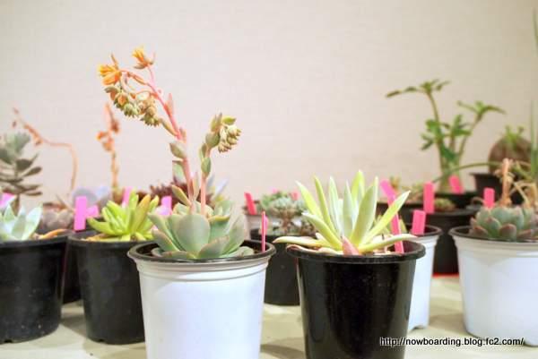 多肉植物 ダドレアブリトニー dudleya-brittonii:
