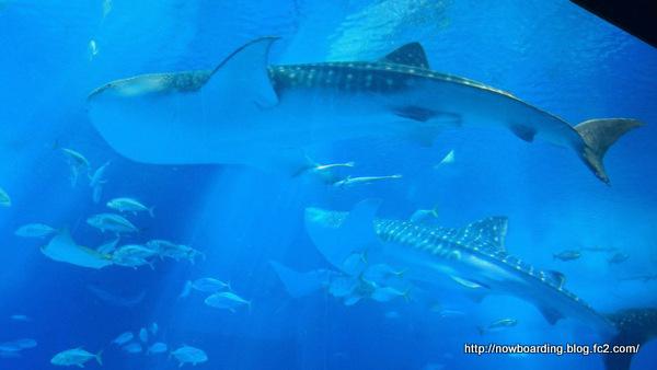 ジンベエザメ 沖縄美ら海水族館