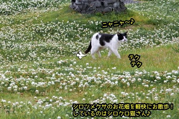 シロツメクサ 白黒猫