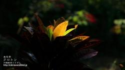 沖縄,植物,壁紙,南国,クロトン