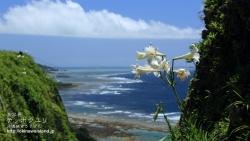 テッポウユリ,ゆり,白い花,壁紙,沖縄,デスクトップ