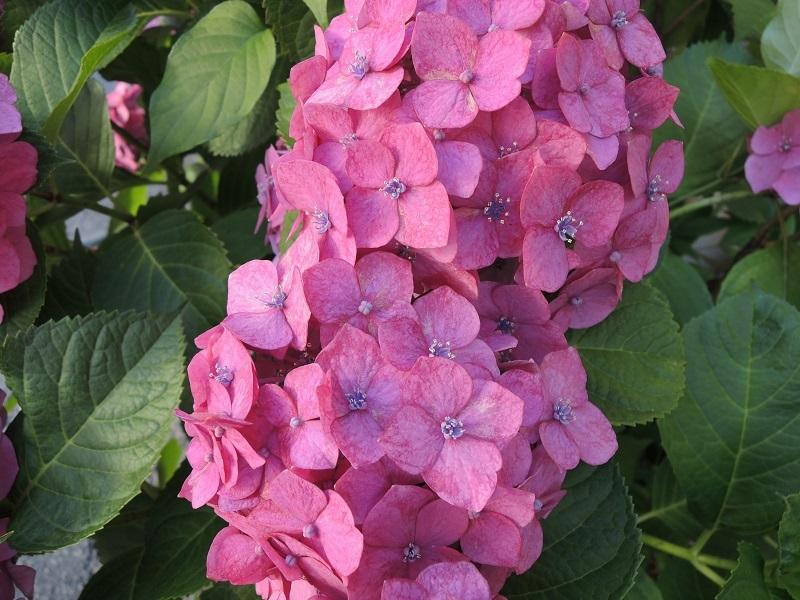 紫陽花 その4