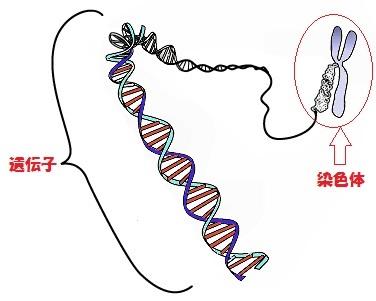 遺伝子、DNA、染色体
