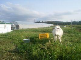 【写真】草刈り機で通った脇で草を食べるアラン