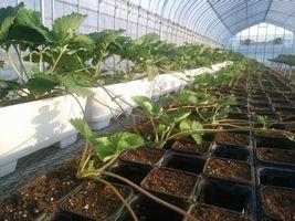 【写真】白いプランターに植えられた親苗から子苗となるランナーが伸びている様子