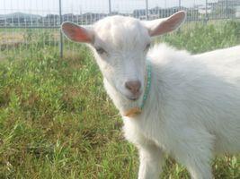 【写真】農園に到着したばかりの子ヤギのポール