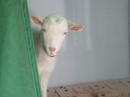 【写真】小屋からそっと顔をのぞかせて、こちらを見つめる子ヤギのポール