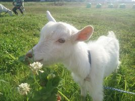 【写真】子ヤギのポールが差し出されたシロツメクサを食べている様子