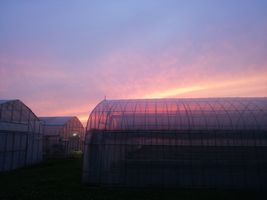 【写真】ハウス上に広がる夕焼け空
