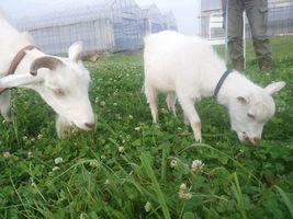 【写真】アランとポールが仲良く並んで草を食べている様子