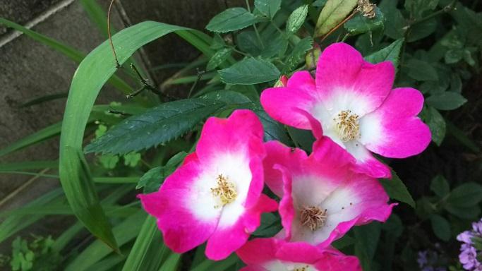 ③珍しいピンクと白柄のバラ