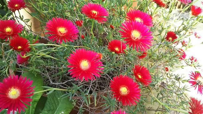⑤庭に放置状態でしたが今年もツボミを付けたと思ったら一斉に咲いた松葉菊