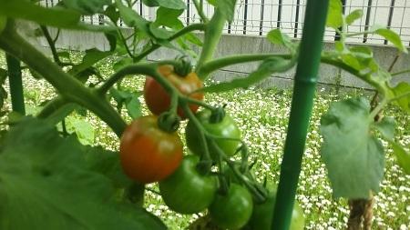 2017トマト