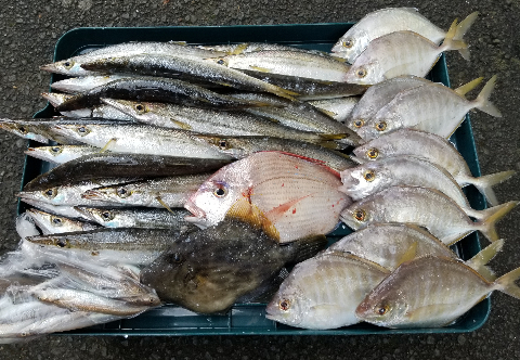 漁師直送の鮮魚カマス、カイワリ