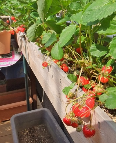 170524strawberries