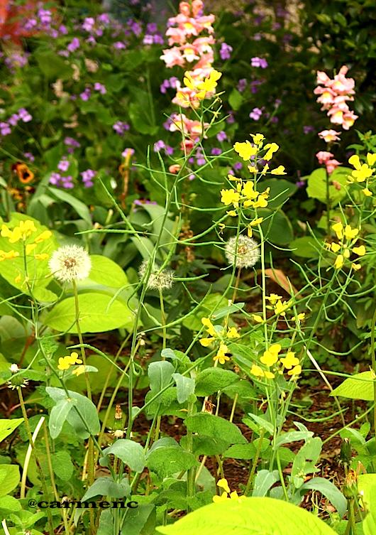 5月の花壇たんぽぽなど