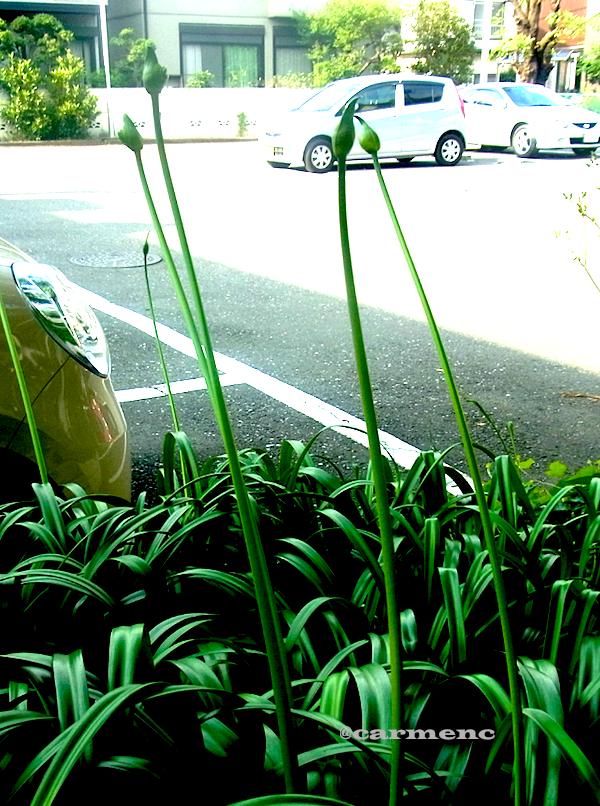 駐車状の蕾