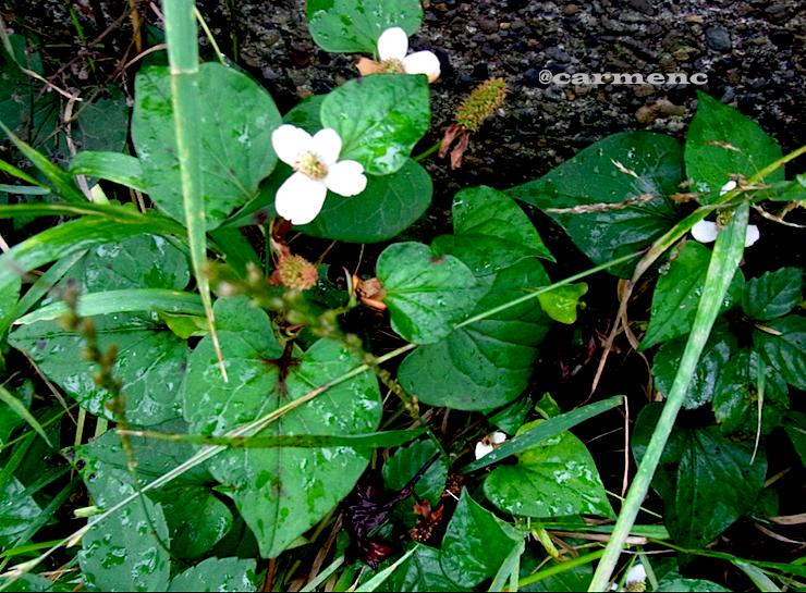 雨の日のドクダミ