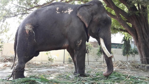 Temple elephant Gajraj suffers torture in Maharashtra,