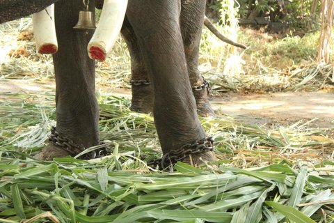 rsz_temple_elephant_gajraj_faces_horrifying_torure_in_maharashtra_tusks_sawed_off_1.jpg