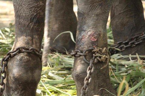 rsz_temple_elephant_gajraj_faces_horrifying_torure_in_maharashtra_tusks_sawed_off_3.jpg
