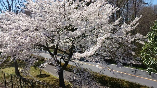 キレイな桜水辺公園
