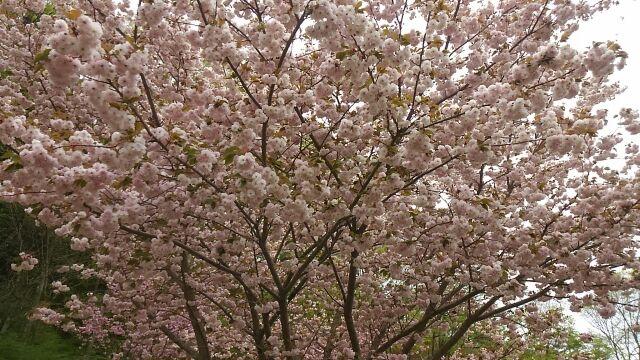 道の駅南きよさと桜