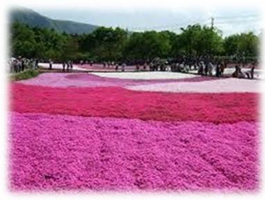4月の句会のお題は芝桜