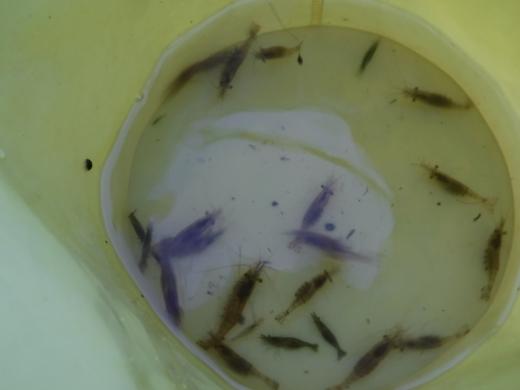 水生昆虫探し (67)