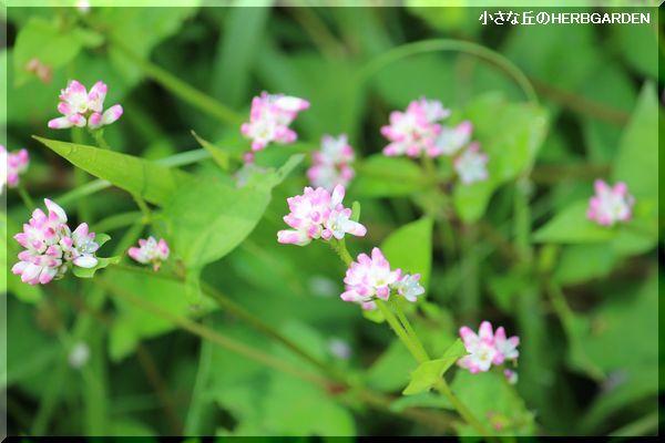 600 雑草の可愛い花
