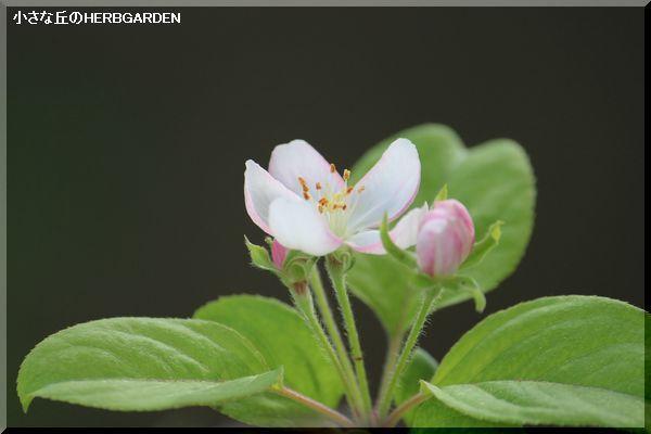 600 姫リンゴの花